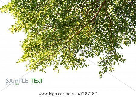 Grünes Blatt, Isolated On White Background