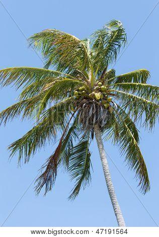 Windblown Coconut Palm