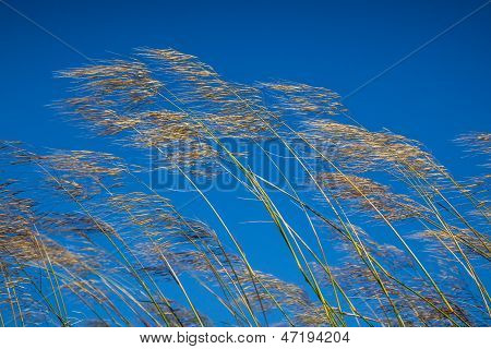 Grass Against Blue Sky Background In Windy Day