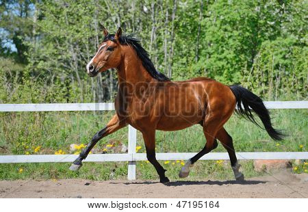 Troting bay purebred horse on manege