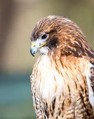 foto of hawk  - A Red Tailed Hawk searches for his next meal. Carolina Raptor Center.