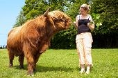 stock photo of highland-cattle  - pretty woman is feeding an highland cattle - JPG