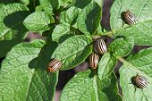 stock photo of potato bug  - Colorado potato beetles eat the leaves Leptinotarsa decemlineata - JPG