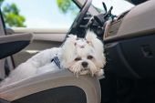 stock photo of maltese  - Little cute maltese dog in the car on the front seat - JPG