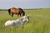 stock photo of husbandry  - Two horses graze on a green meadow - JPG