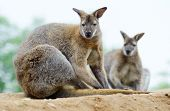 stock photo of wallabies  - Two wallabies sitting and resting showing fur detail - JPG