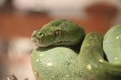 picture of green tree python  - Closeup of a green python with a brown background - JPG