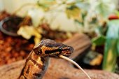 stock photo of harmless snakes  - the ball python eating one white mouse - JPG