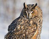 picture of screech-owl  - Portrait of Long - JPG
