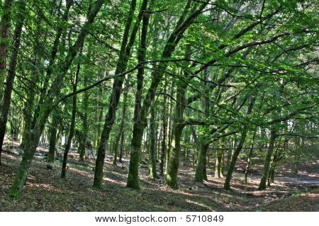 Forest Trees Hdr