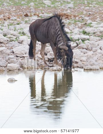 Wildebeest Drinking At A Waterhole, Etosha National Park