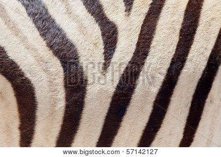 Burchells Zebra (equus Burchelli), Close-up