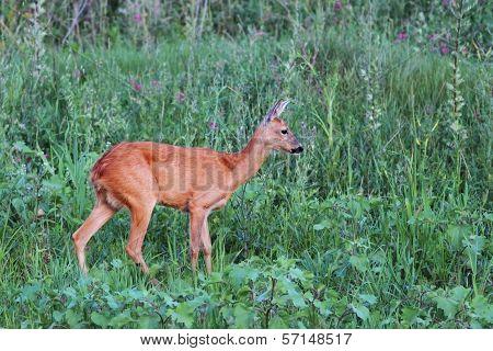 Female Roe Deer In The Green Field