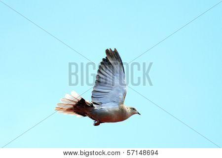Turtledove In Flight Over Sky