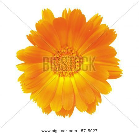 Flower Of A Calendula