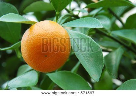 Calamondin Citrus Orange