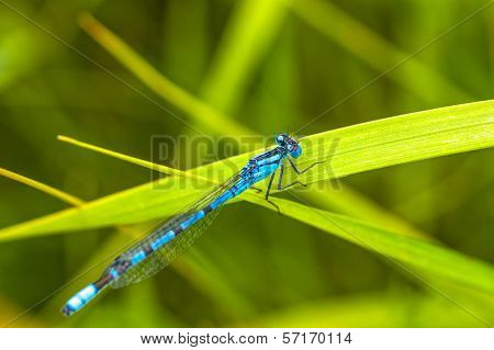 Damsel Fly Resting on Grass