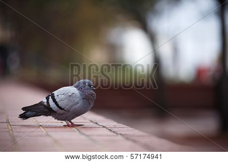 A Pigeon in Savannah