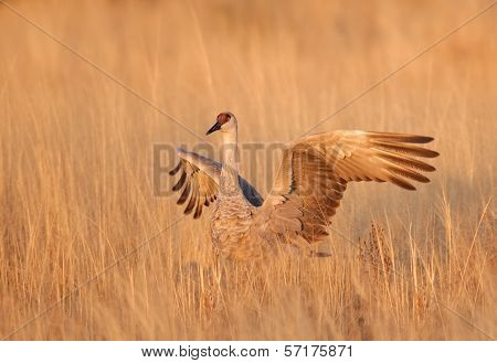 Sandhill Crane in Autumn Grass