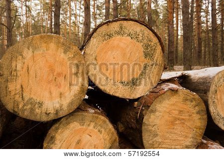 Sawn Logs Stacked In The Forest