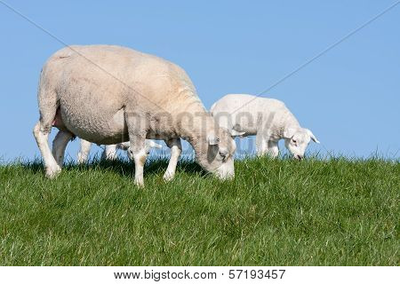 Sheep With Her Lambs