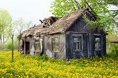 stock photo of barn house  - Abandoned wooden cottage house among yellow dandelions in Podlachia  - JPG