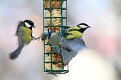picture of great tit  - big starvation at bird feeder great tits fight with blue tit for lard - JPG