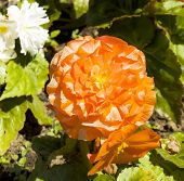 stock photo of begonias  - One flower begonia of orange colour in garden - JPG
