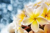 White Frangipani Flowers Bouquet With Fresh Water Dew Against  Blue Blur Background Use For Copyspac