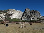 foto of yaks  - Yak herd and limestone formation - JPG
