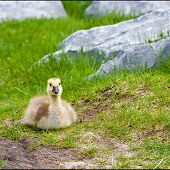 Cute Lone Gosling in Park