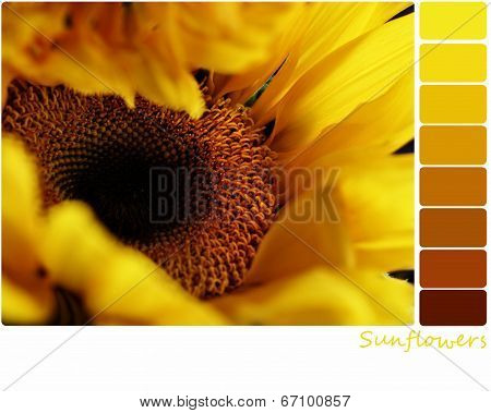 Sunflower Palette
