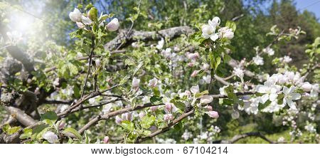 Flowers and buds on an apple tree.
