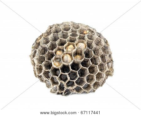 Honeycomb Paper Wasp