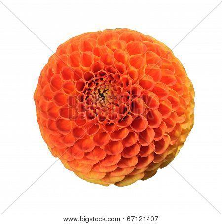 Tangerine Dahlia, Isolated