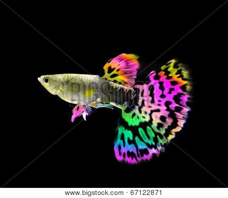 Beautiful  Guppy  Fish Swimming Isolated On Black