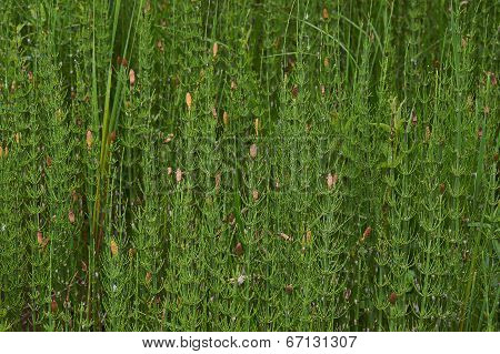 Horsetail Forest Thickets.
