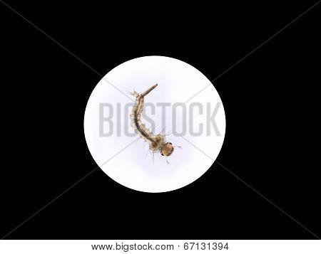 Mosquito's Larva