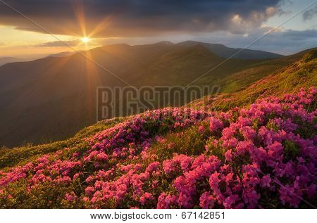 Summer landscape with flowers of rhododendron. Evening with a beautiful sky in the mountains. Glade of pink flowers. Carpathians, Ukraine, Europe