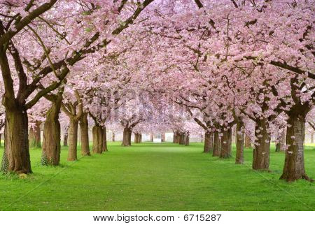 Cherry Blossoms Plenitude