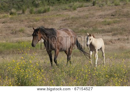 Pony Follows Mother.