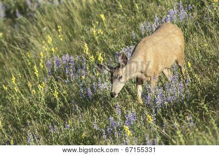 Deer In Grass.