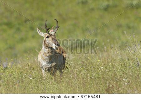 Antelope Chews On Grass.