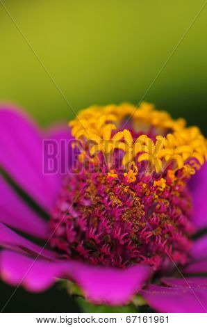 Macro shot detail of colorful pink daisy flower