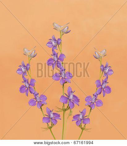 Purple Larkspurs flowering against light orange background
