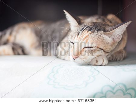 Siamese Cat Sleeping On The Table