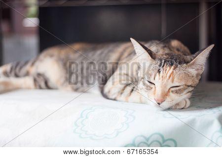 Siamese Female Cat Sleeping Indoor