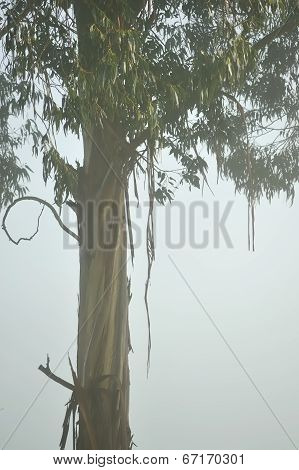 Gum Tree In The Fog