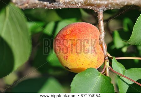 Apricot Hungs On Tree