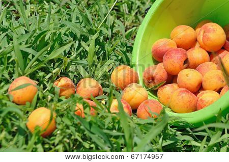 Apricot Moldered On  Herb